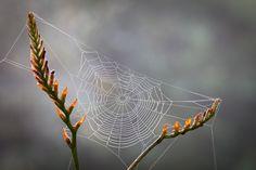Cobweb on seedhead of Crocosmia x crocosmiiflora Solfatare AGM Picture: © Jonathan Buckley