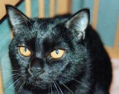 Bombay - Nikky Horner in Kentucky bred the first Bombays in 1953 with selective breeding between a sable Burmese and a black American Shorthair. The breeding program continued with the result of a totally black cat with a short shiny coat and huge copper eyes. The Bombays bred true and in 1976 the Bombay was recognised for championship status in The Cat Fanciers' Association.
