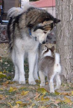 Mama and little one (fr. Husky Tales on facebook)