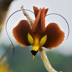 birds of paradise - Buscar con Google