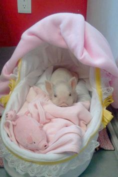 When I will have my baby piglet, she will also be spoiled just like in this picture <----- This haha. WHEN I have my baby piglet Teacup Piglets, Baby Piglets, Cute Piglets, Cute Little Animals, Cute Funny Animals, Cute Baby Pigs, Mini Pigs, Pet Pigs, Guinea Pigs