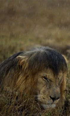 Very soggy--Lion in Tanzania's Serengeti National Park | by Michael Nichols