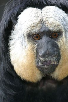 White-faced saki monkey | Dallas Zoo