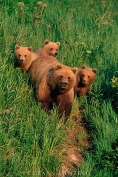 Brown bear mother and cubs, Ursus arctos, Katmai National Park, Alaska by Frans Lanting Studio, via franslanting.photoshelter.com