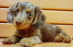 This is my puppy Ziggy! Dapple daschund. Love my baby bear!