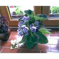 gloxinie Cabbage, Vegetables, Plants, Garden, Garten, Veggies, Cabbages, Vegetable Recipes, Planters