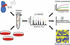 #AChem: Multiplex Substrate Profiling by Mass Spectrometry for Kinases as a Method for Revealing Quantitative Substrate Motifs #MassSpec