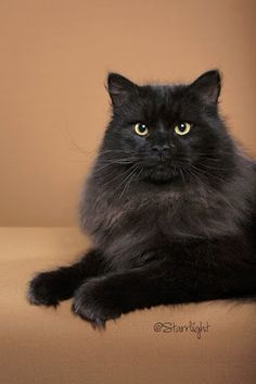 Our handsome, solid black Siberian had his pictures taken. N*VestaVind Domino was 8 months old in the pictures and will be turning 9 month. Cute Cats And Kittens, I Love Cats, Crazy Cats, Cool Cats, Fluffy Black Cat, Black Cats, Siberian Cat, Siberian Huskies, Forest Cat