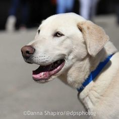Buddy is an adoptable Labrador Retriever searching for a forever family near New York, NY. Use Petfinder to find adoptable pets in your area.