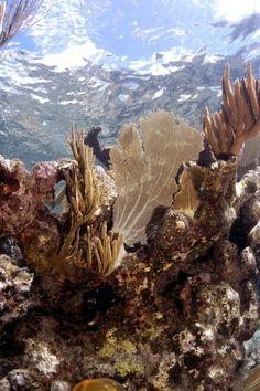 Fantail coral just offshore from Sunset Watch Villa in Virgin Gorda, the British Virgin Islands.