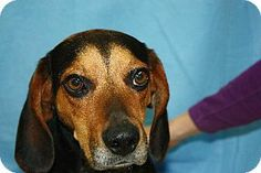 #ILLINOIS #URGENT ~ Charlie ID 6242668 is a Beagle mix in need of a loving #adopter / #rescue -- CHECK 'EM OUT ON FB :::  https://www.facebook.com/pages/Vermilion-County-Animal-Shelter-Offical-Page/430341230365347?ref=ts&fref=ts -- VERMILION COUNTY ANIMAL SHELTER 14775 Catlin/Tilton Rd #Danville IL 61834 frontdeskdog@vercounty.org Ph 217-431-2660