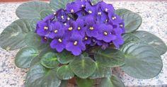 African Violet (Saintpaulia) house plants safe for pets. Beautiful Flowers, Seedlings, Garden Plants, Flowers, Houseplants, Plants, Planting Flowers, Gardening Tips, African Violets