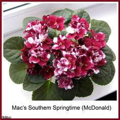 African Violet care: https://www.houseplant411.com/houseplant/african-violet-grow-care