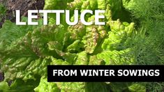 Lettuce from winter sowing. Sowing lettuce in Winter. How to become self-sufficient in less than an 1 acre. Growing Veggies, Harvest Season, Lettuce, Acre, How To Become, Seeds, Seasons, Winter, Plants