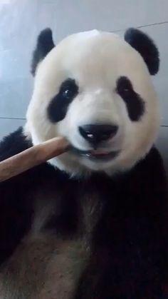 Nom prénom maman is part of Panda - Niedlicher Panda, Panda Gif, Panda Funny, Panda Love, Cute Panda, Cute Baby Animals, Animals And Pets, Funny Animals, Wild Animals Videos