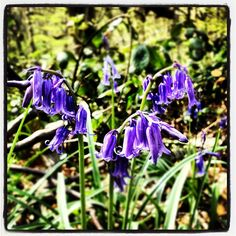 'Bluebells' - Photo from the Instacanvas gallery for lunaraye.