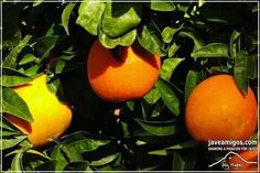 Oranges ripe for the picking