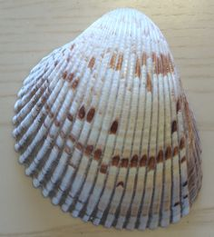 Shells, Seashells, Conchas De Mar, Sea Shells