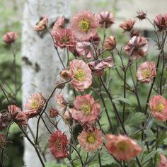 Beginner Gardening Perenner, Nejlikrot / Humleblomster Flames of Passion Wild Flowers, Beautiful Flowers, Daylily Garden, English Garden Design, Garden Care, Plantar, Plantation, Day Lilies, Tropical Garden