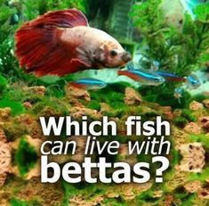 Which fish can live with bettas? Betta fish can be very territorial - they don& get called fighting fish for nothing! But knowing a few simple facts you will be able to have you betta co-existing with other fish peacefully. Betta Fish Tank Mates, Betta Fish Care, Cool Fish Tanks, Tropical Fish Tanks, Siamese Fighting Fish, Paludarium, Beautiful Fish, Freshwater Fish, Pets