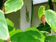 Green Flash Geckos