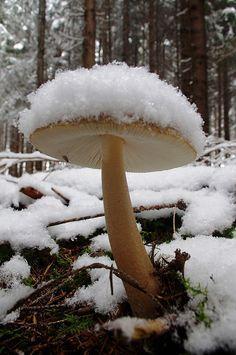 Snow mushroom by pentars on Flickr.