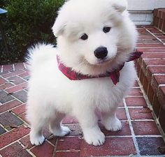 Snowy white pup