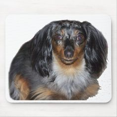 Dapple Dachshund, Long Haired Dachshund, Dachshund Puppies, Weenie Dogs, Chihuahua Dogs, Pet Dogs, Pets, Shelter Dogs, Animal Shelter