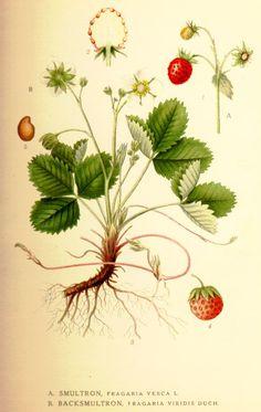 Smultron, Fragaria vesca L. N. Jordbær. F. Mansikka. B. Backsmultron, Fragaria viridis Duch. N. Nakkebær. (1917-1926
