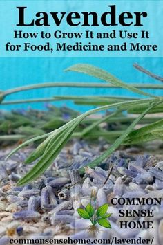 Easy tips for growing lavender and helping your lavender plants to thrive, and some of my favorite lavender uses for food, medicine and more. #Gardening