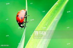Seven-spot Ladybird (Coccinella septempunctata). © Martin Ruegner / age fotostock - Stock Photos, Videos and Vectors