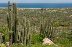 Cacti on the island of Aruba