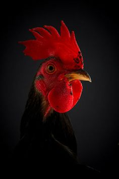 Portfolio of the award winning photographer Richard Bailey. Richard has been a professional photographer for over twenty years and specialises in people and animals. Chicken Art, Coq, Hens, Farm Animals, Birds, Roosters, Ducks, Photography, Wallpaper