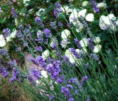 Duplázzuk, triplázzuk, sokszorozzuk (mármint a levendulát :) ) - gazigazito. Lavandula, Garden Plants, Wild Flowers, Flora, Lavender, Herbs, Nature, Gardening, Plant