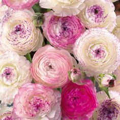 Ranunculus Picotee - Creamy white flowers with a lavender pink edge