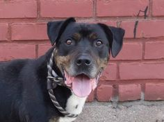 TO BE DESTROYED 7/13/14 Brooklyn Center   My name is HERCULES. My Animal ID # is A1006089. I am a male br brindle and white staffordshire mix. The shelter thinks I am about 7 YEARS old.  I came in the shelter as a STRAY on 07/09/2014 from NY 11236, owner surrender reason stated was STRAY. https://www.facebook.com/photo.php?fbid=835957259750488&set=a.611290788883804.1073741851.152876678058553&type=3&theater