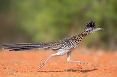Greater Roadrunner/Professional Category. Photo: Hector Astorga - 2015 Audubon Photography Awards Top 100 | Audubon