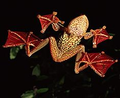 Flying Frogs - Gliding Through Dark Asian Rainforests | Animal Pictures and Facts | FactZoo.com