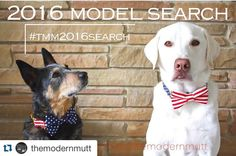 LadyBug enjoys stealing donuts mooching off pizza and strutting her stuff on the runway. #Repost @themodernmutt with @repostapp.  Check out their awesome bow ties and bandanas!! #themodernmutt #tmm2016search #dogbandana #dogcollar #dogmodelsearch #dogbowtie #dogleash #americanflag #4thofjuly #blueheeler #whitelab by ladybugthepug