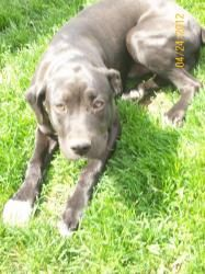 Major/ Cargo is an adoptable Great Dane Dog in Yakima, WA. Major/ Cargo�is a 5 month old Great Dane/Mastiff mix male. He is super sweet and very loveable. He is a stunning black color with a darling f...