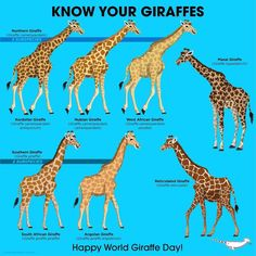 Happy World Giraffe Day Unbelievers! Especie Animal, Animal Facts, Mundo Animal, Extinct Animals, Zoo Animals, Animals And Pets, West African Giraffe, African Animals, Masai Giraffe