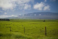 Waimea, Big Island, Hawaii - Cattle Country