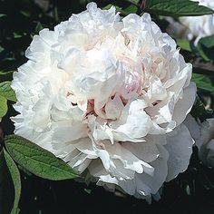 Pivoine arbustive 'Lactea' - Plantes et Jardins