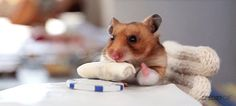 Sometimes little animals need some fine dining. This hamster had a craving for Mexican food, so he got hooked up with a miniature burrito. We're not sure if this is adorable or making us hungry. Either way, this hamster surely appreciated his meal. Baby Animals, Funny Animals, Cute Animals, Animal Funnies, Mini Burro, Animal Eating, Animal Food, Animal Pics, Hamster Eating