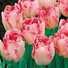 Tulipa 'Angelique'  Botanical Name: Tulipa 'Angelique'  Common Name: Tulip  Petal-iferous Blooms Look Like Strawberry Ice Cream!