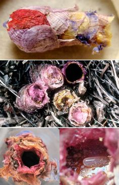 Osmia Avosetta are solitary bees that build their nests by biting petals off of flowers, flying them back one by one, and gluing them together often using nectar as glue. Each nest is a papermache work of art that houses a single bee egg.