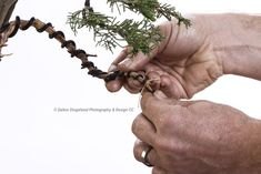 Shaping young bonsai tree - Training branches with wire - Tools of the trade - How to - learning from a pro - Bonsai made easy by Antony Smith @antonysmith2861 - from Willow Bonsai & Bonsai Addicts Club #toolsofthetrade #bonsai #hobby #dingelstadphoto #throughmylens #photo #photography #canon #profoto #canon_photographers #canon_photos #canonphotography #teamcanon #canonphoto #trending #icatching #exclusive_shots #main_vision #master_shots #dalton #DDP #lifethroughmylens