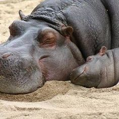 Sleeping beauties  Photographer Unknown #safari #africa #sleep #beautiful #beauty #amazing #happy #fun #funny #love #loveit #follow #followme #hippo #animal #nature #wild #nice #cute #sweet #dream #life #whyiloveafrica #especiallyafrica #letsgotoafrica #baby