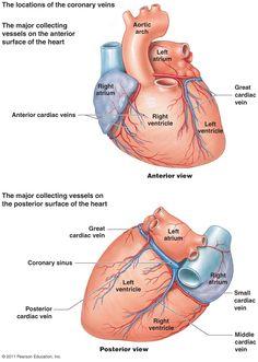 Heart Coronary Artery System Diagram | Blood Supply to the Heart (Coronary Circulation) Diagram