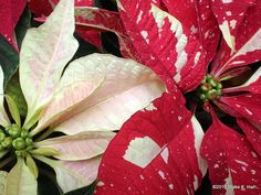 We have one of the red and white poinsettias in our bathroom. It's barely hanging in there.  My favorites are bright pink.